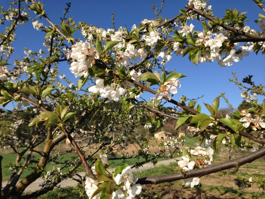 Jolis cerisiers